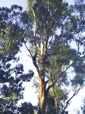 ZOOM sur L'Eucalyptus Globulus