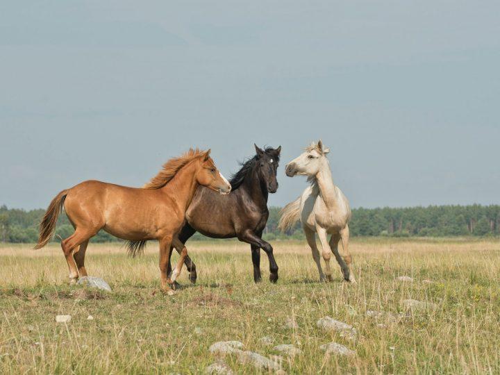Remèdes à base d'huiles essentielles chevaux